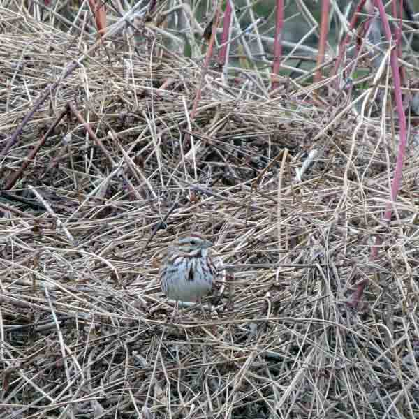 You can't see me here.  A Song Sparrow watched us pass by.
