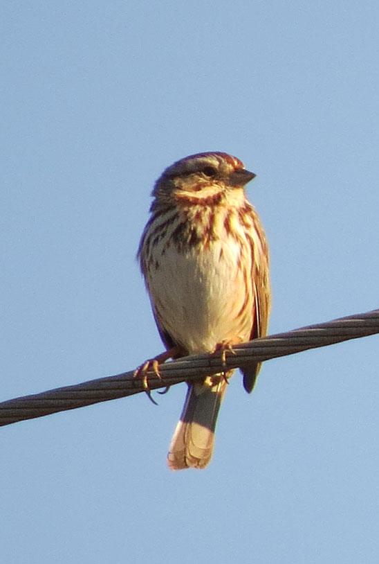 Perhaps the most common song is from the Song Sparrow.  They are everywhere and delightful.