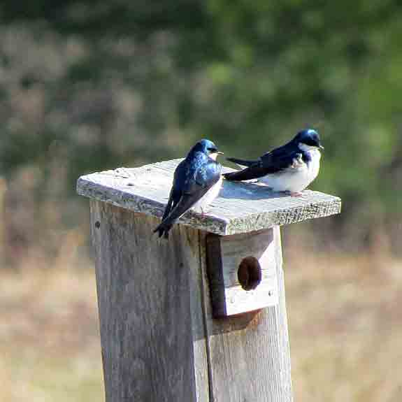 Tree Swallows were competing big time for the nesting boxes.