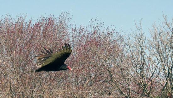 This Turkey Vulture with his buddies, was working the open Dumpster after the Navy/Maryland lacrosse game.  Good pickin's!