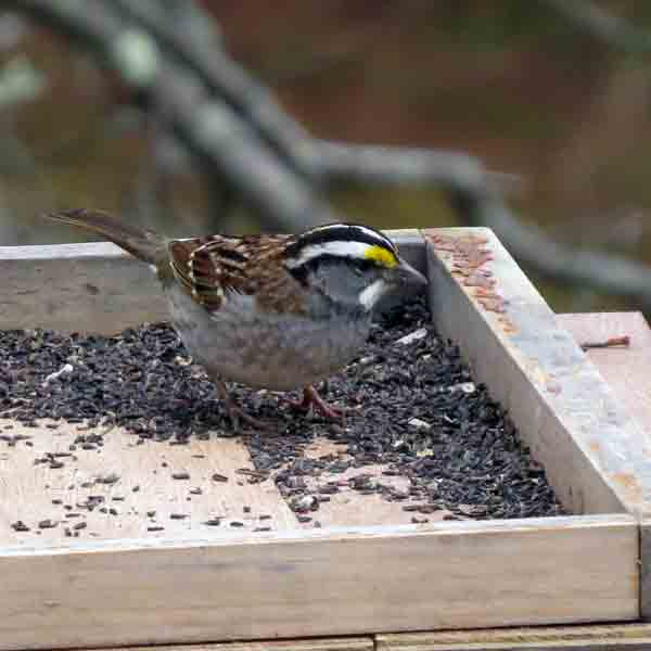 Just before we started out, this White-throated Sparrow was chowing down on thistle seed.