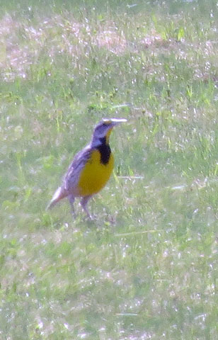 The meadowlark was way out there and I shot from the truck window -- pushing the camera system big time.  They are a beautiful bird -- even at a distance.