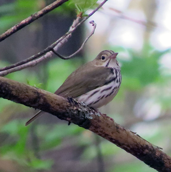 It's a tough life being a small migratory bird. Studies estimate that half of all adult Ovenbirds die each year. The oldest known Ovenbird was seven years old.