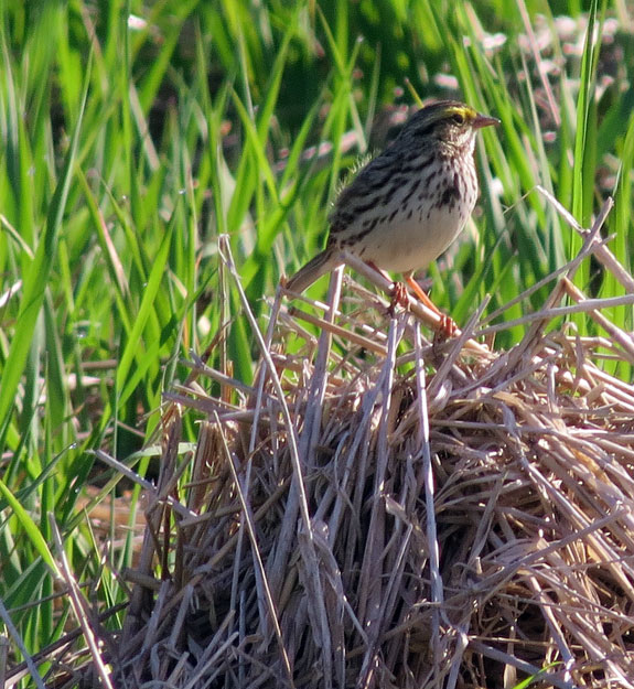 A Savannah Sparrow at the Sparrow Farm.