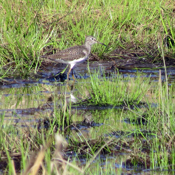 I saw this FOY Spotted Sandpiper yesterday at Wrightsville Reservoir wet lands, along with four others.
