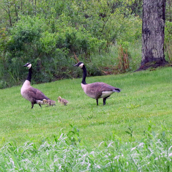 Canada Geese and a couple of youngsters at Berlin Pond. Others on the pond had larger groups of kids -- makes one wonder what happened to the rest of this hatch.