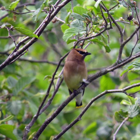 It's hard to beat Cedar Waxwings for looks - they are cool characters.