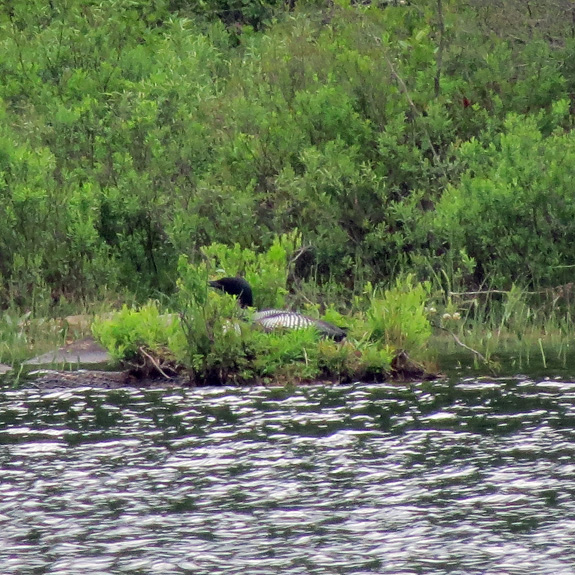 The state has an active loon program that places nesting sites (and warning signs for paddlers/boaters) on many ponds.  Here is a floating platform at Ricker Pond being used.  (Photo taken at very long range from opposite shore.)