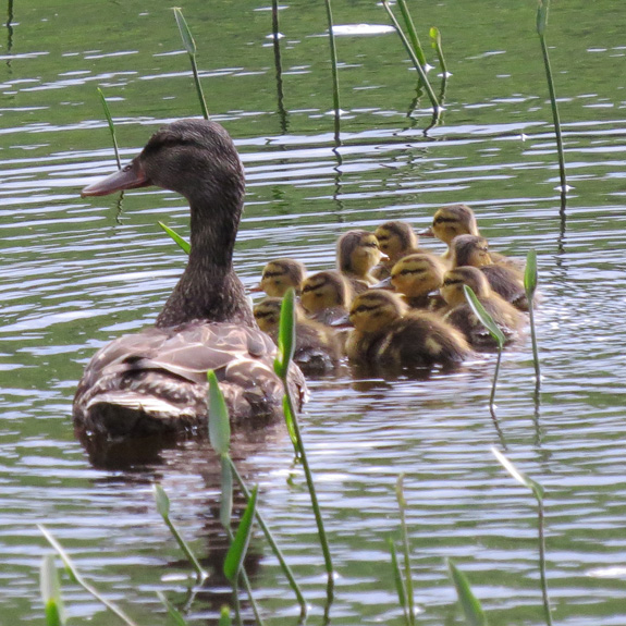 A female Mallard at Ricker Pond with quite a group of chicks.
