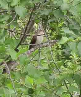 A Black-billed Cuckoo on Wood Road in North Middlesex, VT.