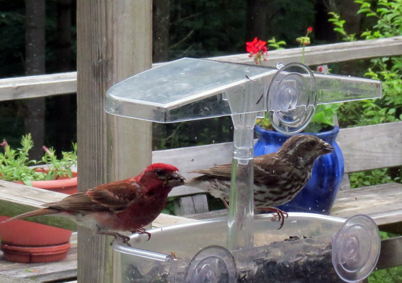 At times, purple finches swarm the feeders.
