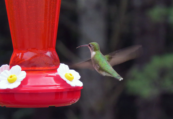The new crop of hummers are tanking up every day.