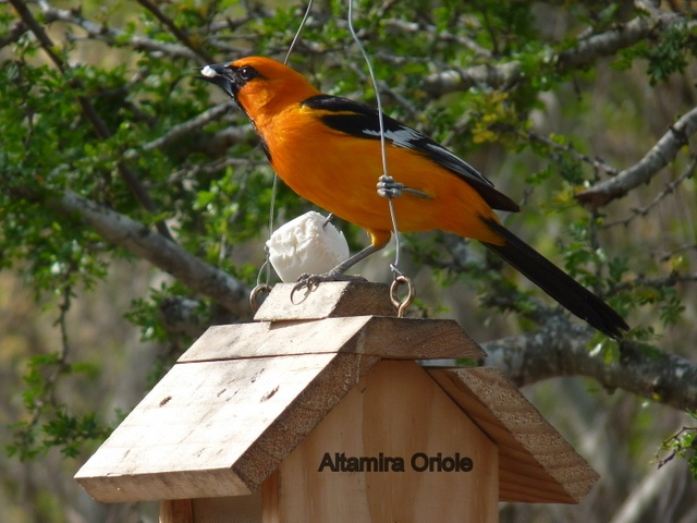 The Altamira Oriole is a bird of Mexico and Central America whose range just reaches into southern Texas. They are often seen at Salineño.