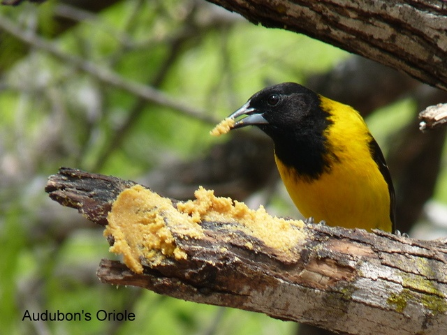 A predominantly Mexican bird, the Audubon's Oriole reaches the United States only in southern Texas.