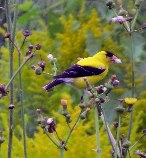 This American Goldfinch was chowing down on some plants and ignored us.