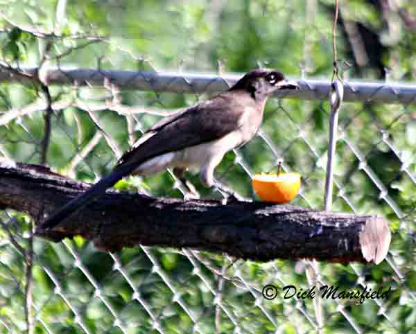 Brown Jays are resident of a short stretch of Rio Grande corridor from about Salineño to the woodlands below Falcon Dam