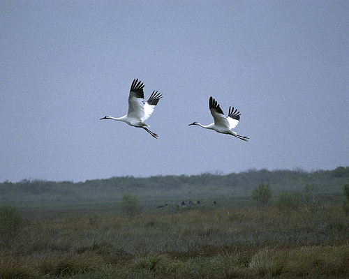 Whooping Cranes are one of the attractions but they are often far out and require a spotting scope.  Many birders take boat tours out of Rockport for better looks.