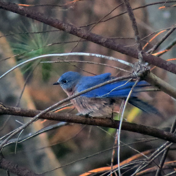 This Bluebird spent five minutes grooming, and still has some feathers askew.