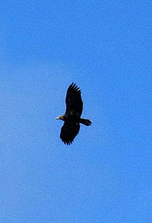 I have seen this eagle once before here -- I am guessing that it is a 2nd-year bird from the markings.