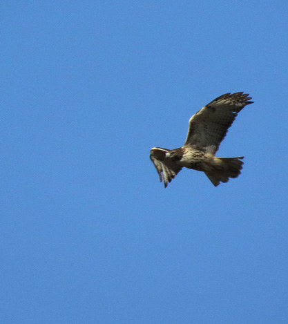 Rough-legged hawk circling farm field in Merrimac.