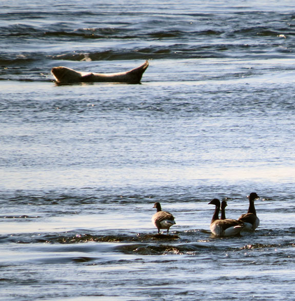 An abundant small goose of the ocean shores, the Brant breeds in the high Arctic tundra and winters along both coasts.  Note the Harbor Seal coasting by on its back.