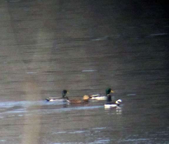 Three Mallards and a Long-tailed Duck cruising northward.