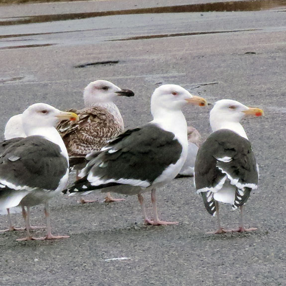 Nothin' but us Herring Gulls here, sir!