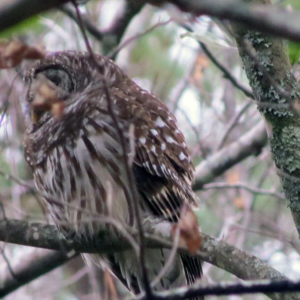 Barred Owl in MS