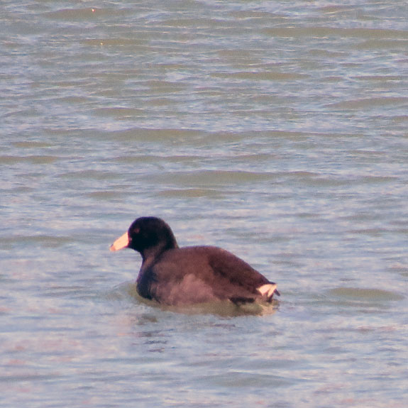 This American Coot did not want its picture taken.  We'll see many of these down south next month.