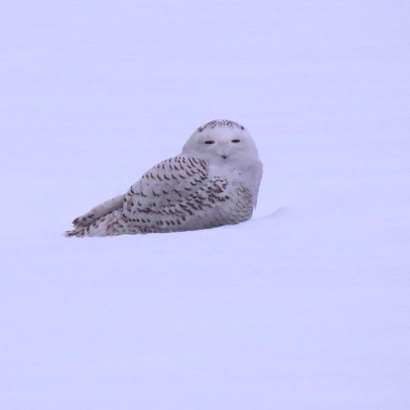 A young Snowy Owl a long ways from home in a field in Berlin, VT.