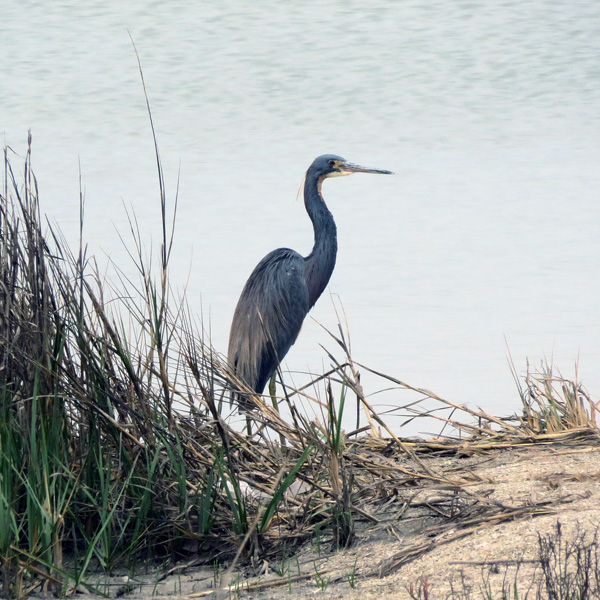 This Great Blue Heron is developing breeding plumage.