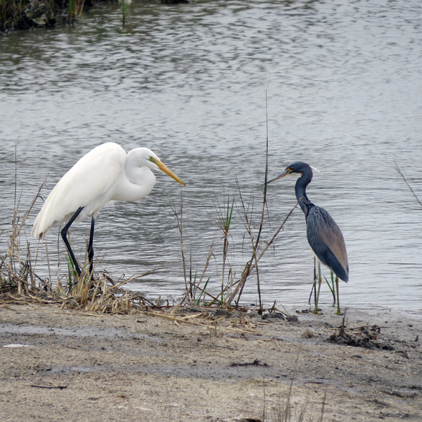 A Great Egret checking out the Tri-colored Heron
