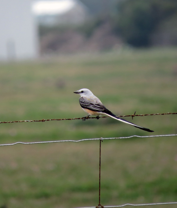 We have seen several Scissor-tailed Flycatchers, perched and in action.  Always a treat.