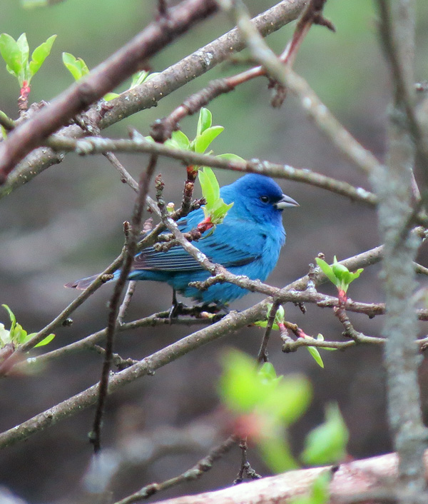 First Indigo Bunting we've seen on our property.