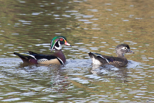 Wood Ducks photo by David Mitchell.