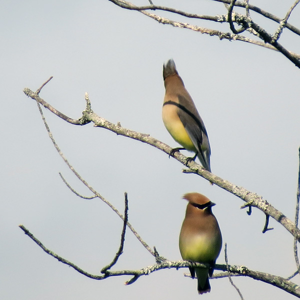 Cedar Waxwings were looking sharp in the morning sunlight.
