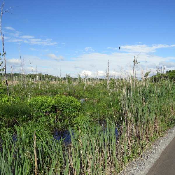 In spite of being adjacent to developed sites, the marsh is wild-like.
