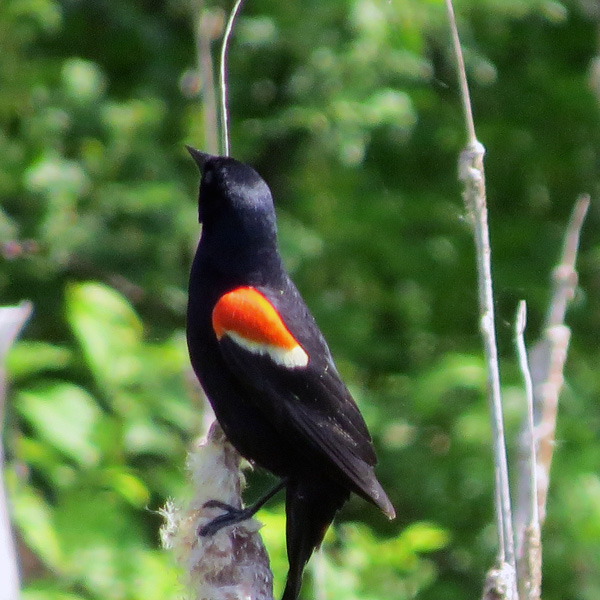 As might be expected, there were dozens of Red-winged Blackbirds.  It's amazing that a bird which we celebrate in early Spring can become commonplace and taken for granted.