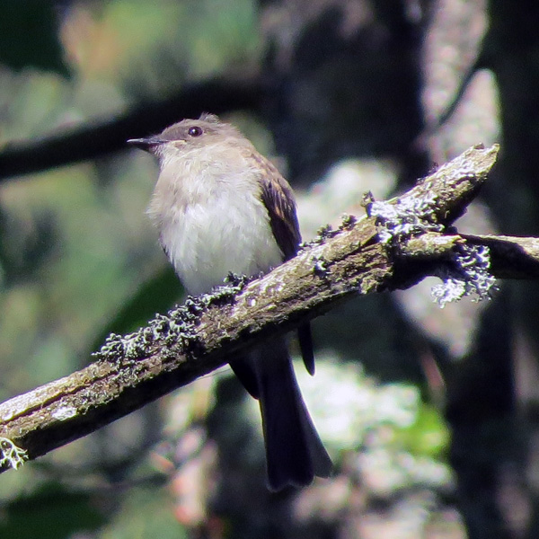 Eastern Phoebes seem to be silent this time of year and this one did not bob its tail.