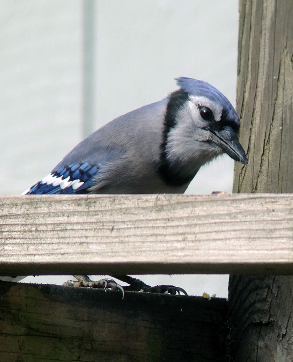 This Blue Jay, one of the eight or ten who hang out here, is giving me and my scope the hairy eyeball.