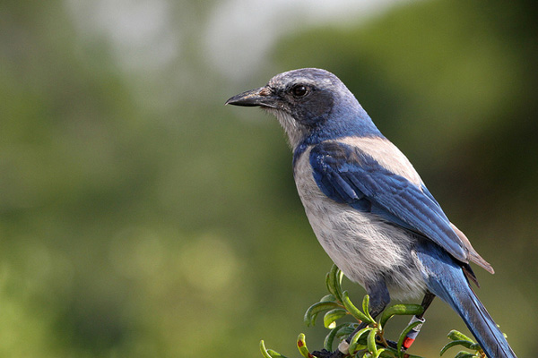 A bold and curious bird, the Florida Scrub-Jay can become hand-tame in areas where it comes in contact with people. Unfortunately, it is restricted to the rare oak scrub community of Florida, a habitat under constant threat of development, and is classified as Threatened under the Endangered Species Act.