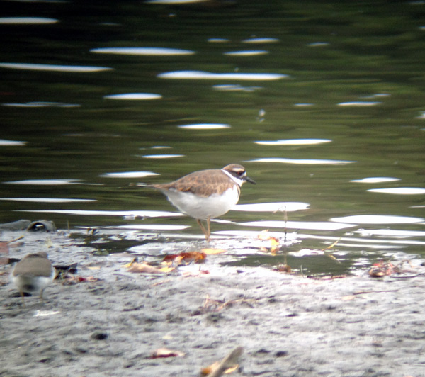 A couple of Killdeer were foraging along the Winooski River.