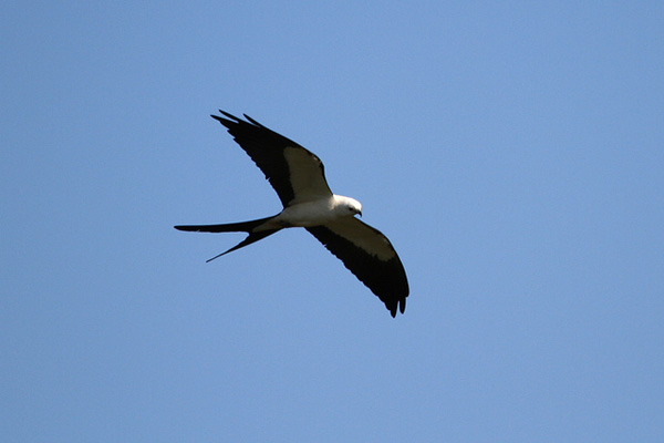 A strikingly marked raptor of wetlands in the southeastern United States, the Swallow-tailed Kite captures flying insects or plucks insects and lizards from the tops of trees.
