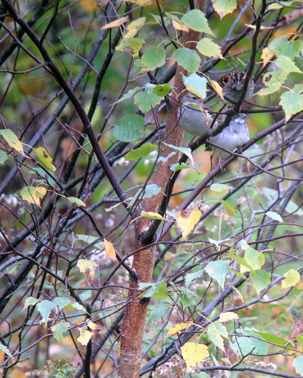There were dozens of sparrows moving here and there. Can you find the three in this bush?