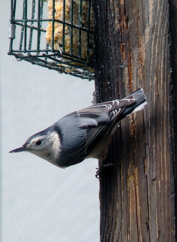 What's not to love about White-breasted Nuthatches?