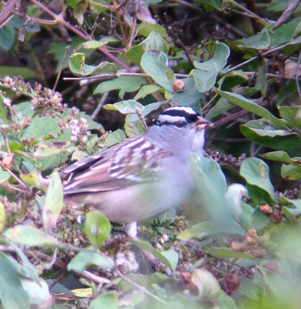 A White-Crowned Sparrow moving through the shrubbery.