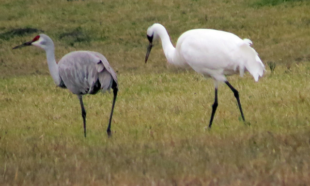 Whoopers and Sandhills often feed together here, providing a nice comparison of size and marking differences.