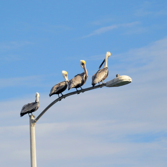 One of the common sites at Goose Island is the Brown Pelicans waiting for anglers to return and clean their fish.