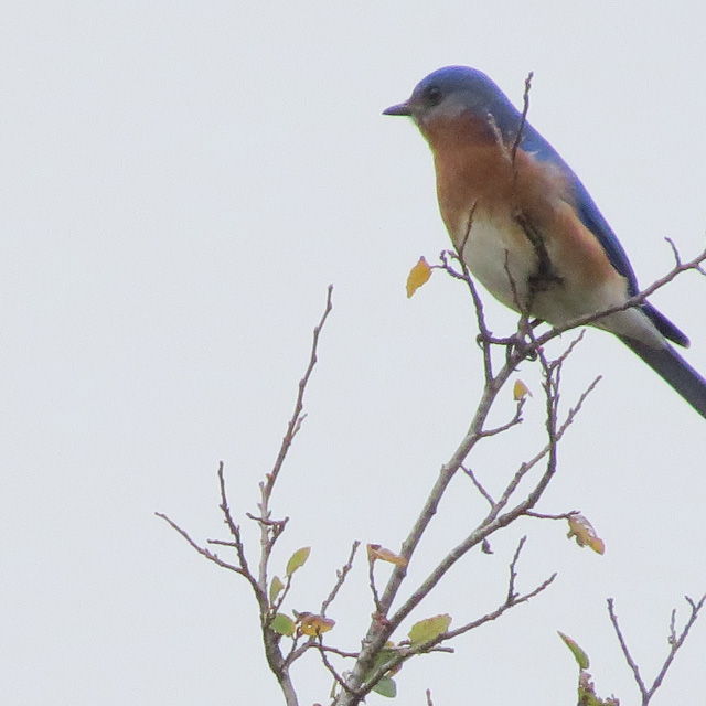 There were dozens of Eastern Bluebirds at the park.