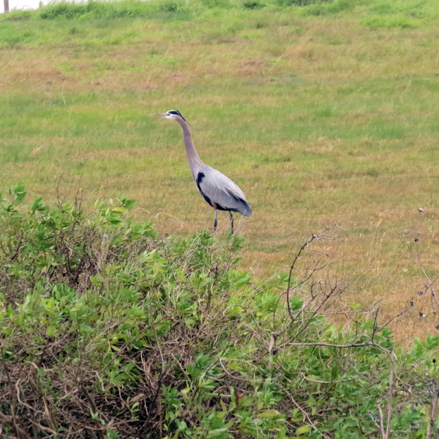 Not to be outdone by exotic visitors, a couple of elegant Great Blue Herons also grace the field.